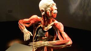 A Picture Of The Human Anatomy Preserved Human Body Exhibition To Open In Liverpool City Centre