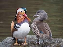 mandarin duck wikipedia