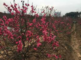 cherry blossoms abloom on the heels of lunar year