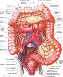 Liver Human Anatomy Function Of Large Intestine In Human Body Human Anatomy Organs