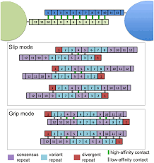 The B Functional Consequences Of B Repeat Sequence Variation In The