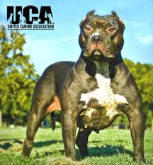 american pit bull terrier life expectancy american bully breed information and pictures united canine