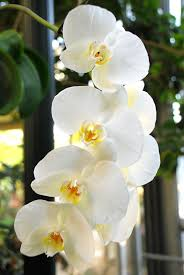 White Orchid Flower Orchids What A Beautiful Graceful Flower I Have One Just Like