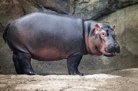 Hippo Memes - fiona the hippo know your meme