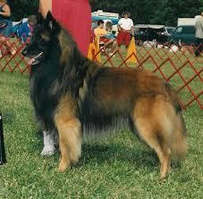 belgian sheepdog poodle mix belgian tervuren belgian tervuren pictures information
