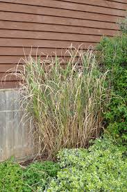 ornamental grass miscanthus forum gardenersworld