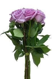 Lavender Roses Blue Curiosa Lavender Rose Lavender Roses Wedding Roses