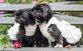 affenpinscher qualities smallest dog breeds world u0027s smallest dogs really tiny dogs