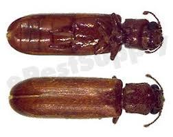 Powder Post Beetles In Hardwood Floors - powder post beetles how to kill and get rid of powder post beetles