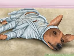Why Do Dogs Lick The Sofa How To Care For A Dog After Spaying With Pictures Wikihow