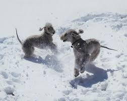 grooming a bedlington terrier puppy 5 things you may not know about the bedlington terrier american