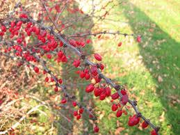 for the birds red berried trees shrubs u0026 vines