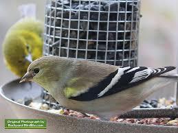backyard birds goldfinches