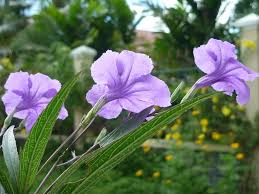 plants native to mexico about wild petunia u2013 information for growing ruellia flowers