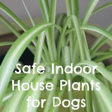 non toxic indoor house plants for dogs