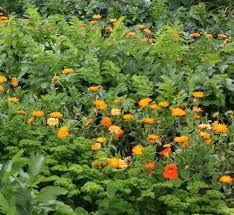 8 popular annual flowers you can grow from seed homeclick