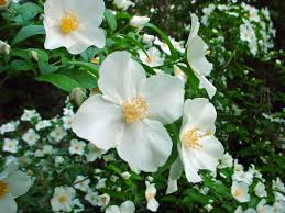 Fragrant Tropical Plants 12 Fragrant Flowers Grow Them To Perfume Your Flowering Garden