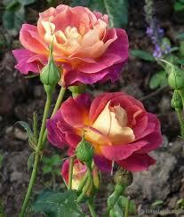 best 25 rose bush ideas on pinterest flowering bushes growing