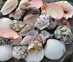 where to buy seashells shells special offers buy seashells from the uk shells