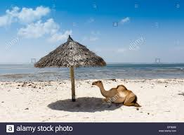 Beach Shade Umbrella Camel Resting In The Shade Under Sun Umbrella On White Sand Beach