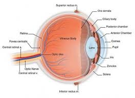 Pathway Of Light Through The Eye Eye Acute And Chronic Complications Of Diabetes Diapedia The