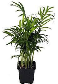 9greenbox 5 money tree plants braided into 1 tree