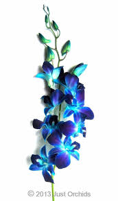 Wholesale Fresh Flowers Bulk Fresh Flowers Dyed Blue Bom Dendrobium Orchids Wholesale
