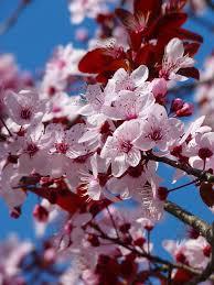 free photo road ornamental cherry flowers pink tree max pixel