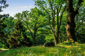 forest glade in the cool shade of three oak trees on a summer