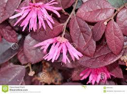loropetalum chinense rubrum pink pink fringe