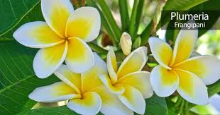 plumeria flower plumeria flower how to care for the frangipani tree