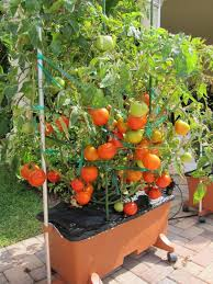 tomatoes in earthboxes a reader u0027s perspective amazing tomatoes