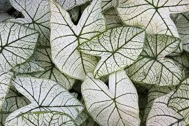 caladium candidum white and green leaves background stock photo