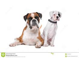 boxer dog white white boxer puppies brown funny cat u0026 dog pictures