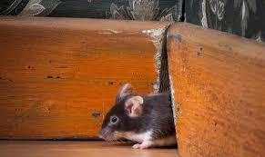 could your remodeling project result in a rodent uprising
