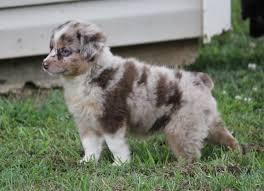 australian shepherd red merle puppy puppies for sale j u0026 j mini aussies