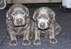 puppies for sale silver labs for sale breeder of silver labrador retrievers