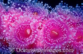 sea anemone photos images u0026 pictures