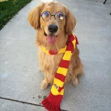 Big Dog Halloween Costume Hairy Potter Dog Costumes Halloween Golden Stark Tap
