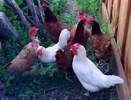 Chickens For Backyards by A Guide To Raising Urban Backyard Chickens For Busy People
