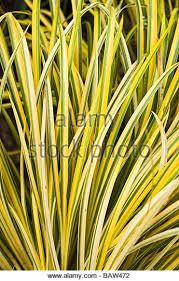 variegated ornamental grass stock photos variegated ornamental