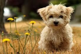 yarrow affenpinscher dog smile cute affenpinscher