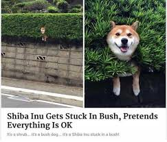 Shiba Meme - dopl3r com memes shiba inu gets stuck in bush pretends