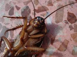 diatomaceous earth safe for humans killer for roaches