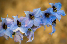 delphinium flowers delphinium flower meaning flower meaning