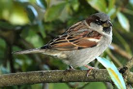 house sparrow new zealand birds online
