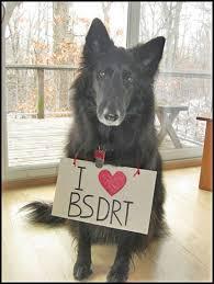 belgian sheepdog rescue adoption volunteer belgian sheepdog rescue trust