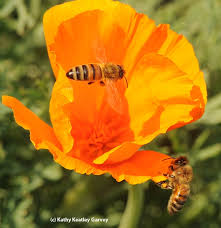 California Poppy Why Honey Bees Forage In California Poppies Bug Squad Anr Blogs