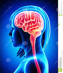 3d Head Anatomy Female Brain In Blue X Ray Stock Photography Image 36216912