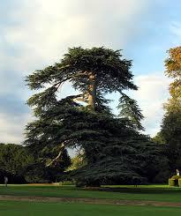 file majestic tree at mapledurham house geograph org uk 241671